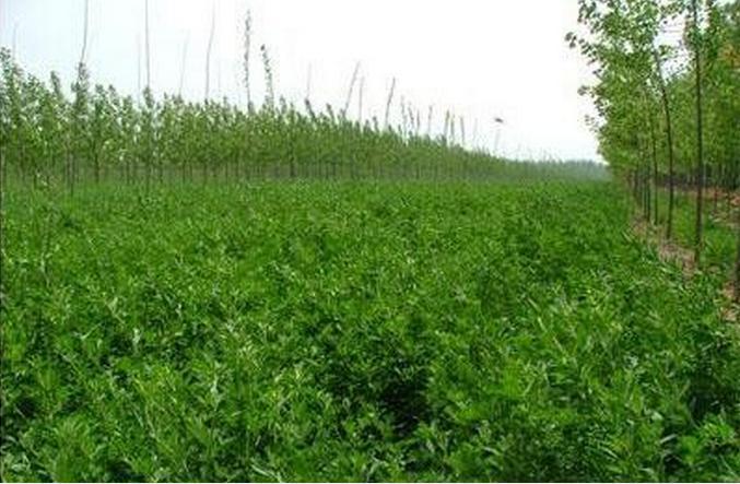 南方紫花苜蓿牧草种子