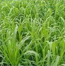 苏丹草牧草种子